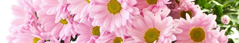 Pink-Camomile-flowers-close-up_2560x1600.jpg